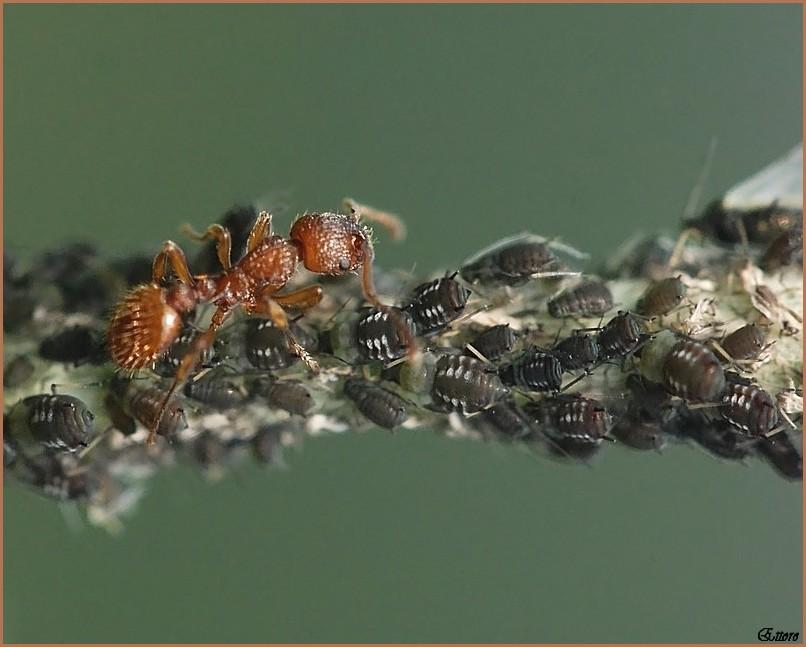 La formica allevatrice