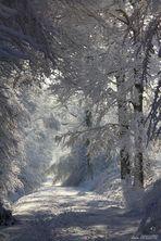 La forêt blanche.