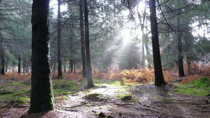 la forêt percéé