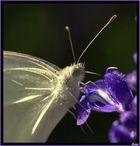La gentil farfalletta.