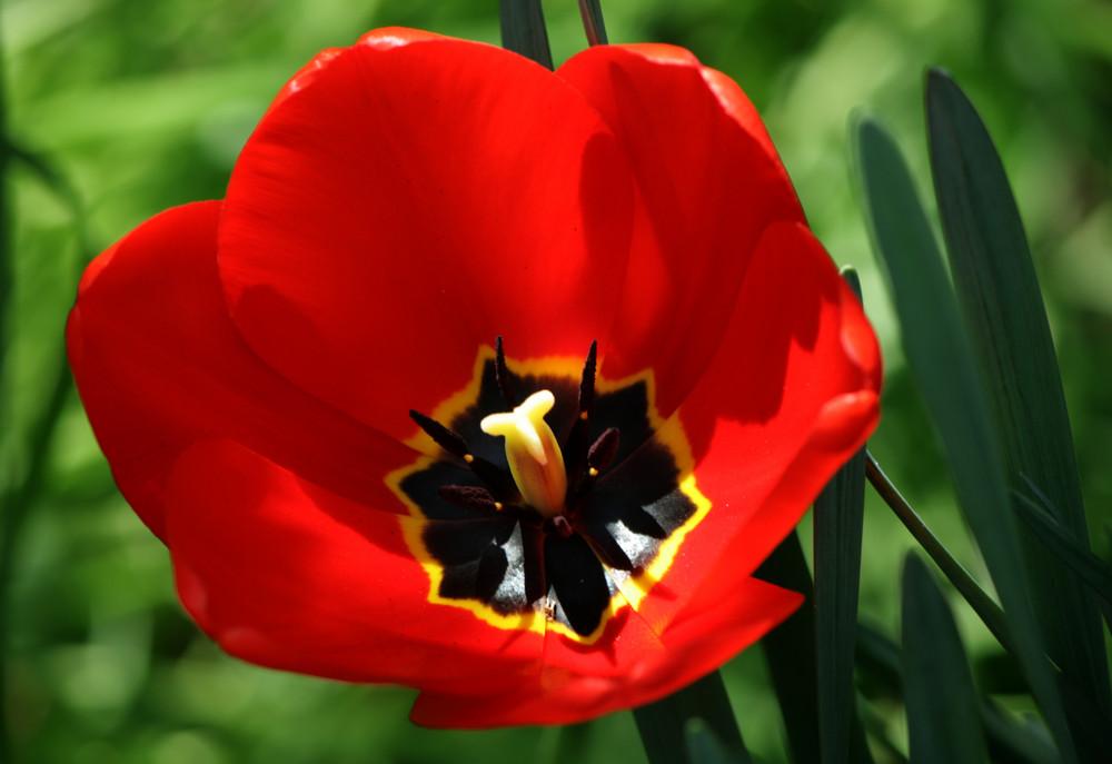 la geometria del tulipano