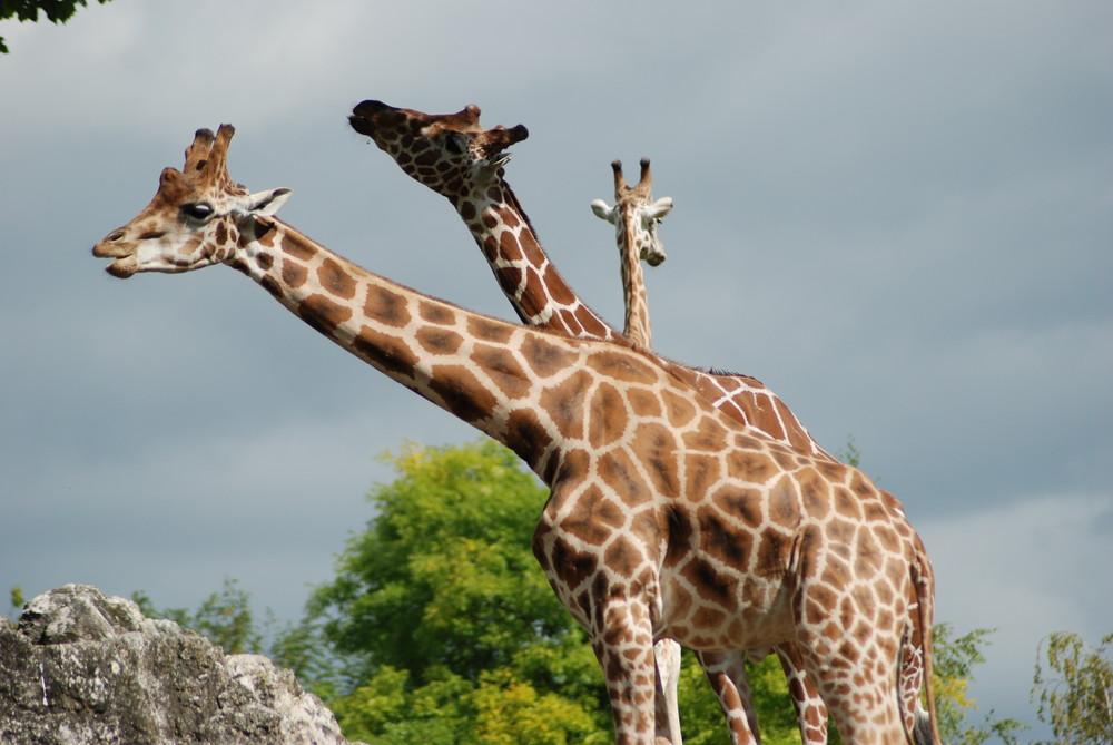la girafe à 3 têtes