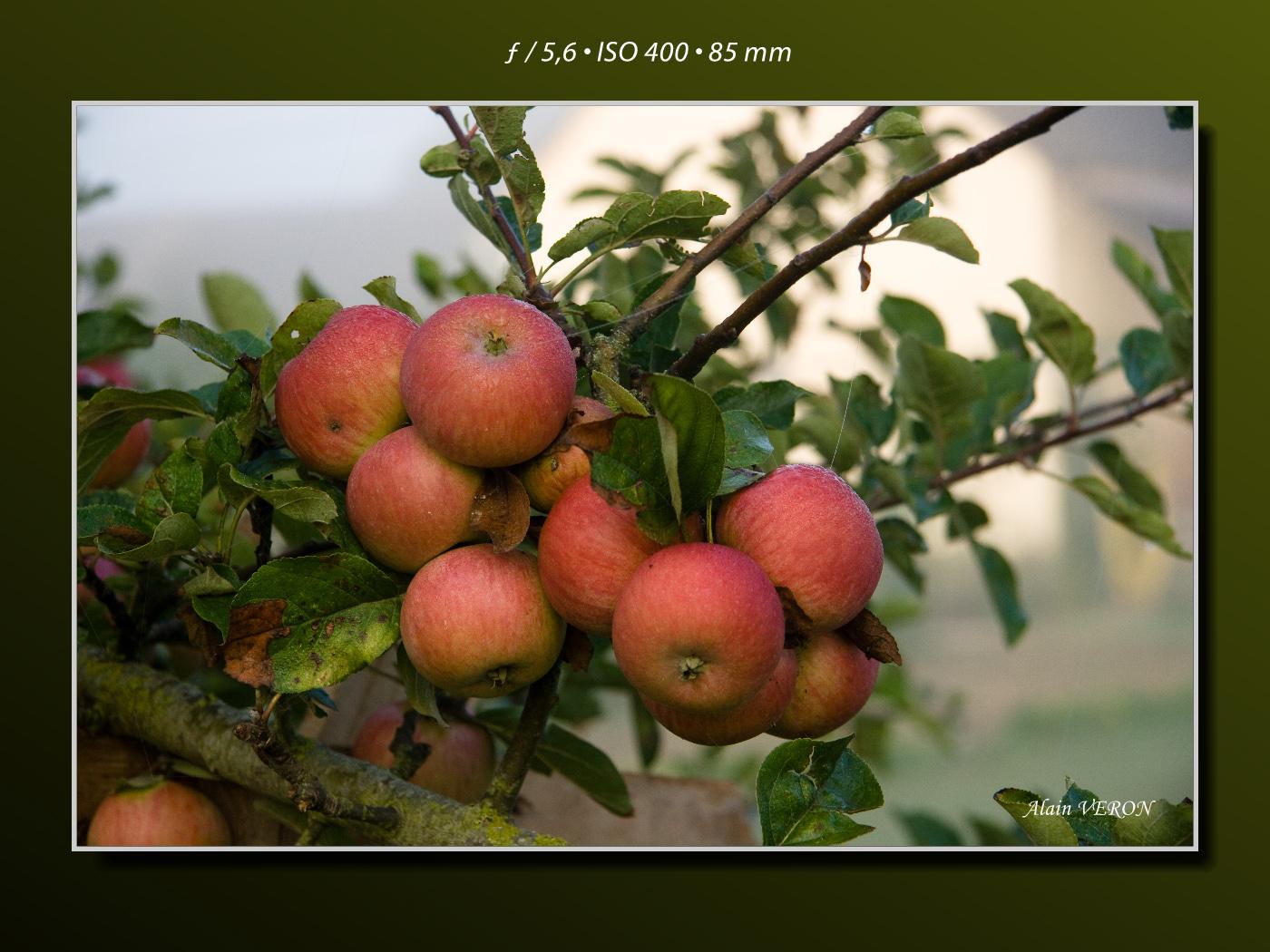 La grappe de pommes
