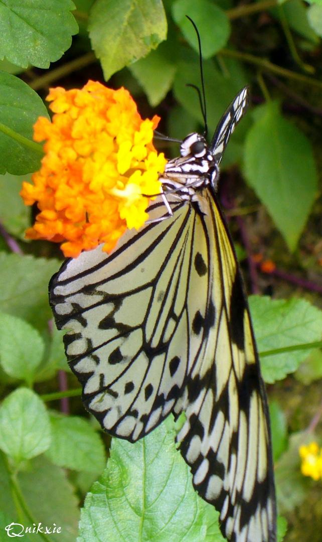 La grâce du papillon