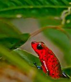 la grenouille des fraises