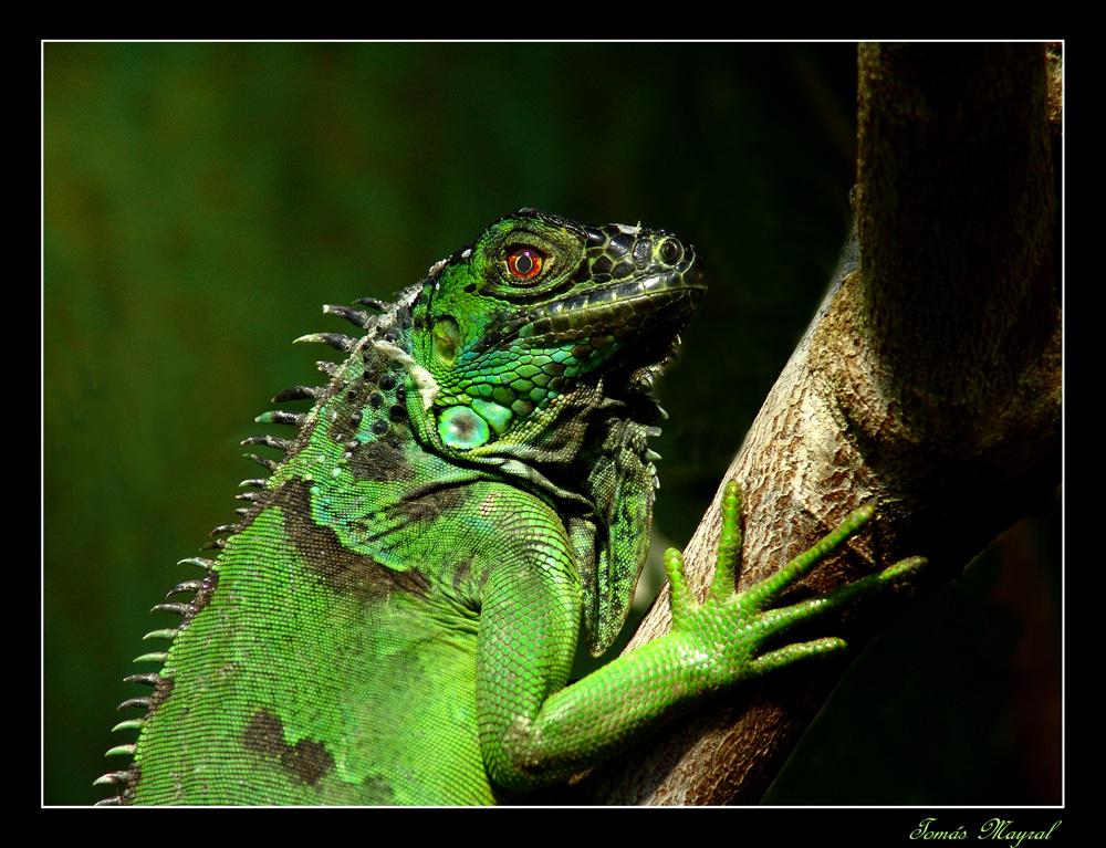 La Iguana Curiosa