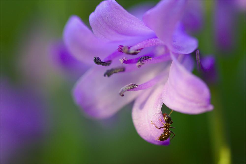 La jacinthe et la fourmi.
