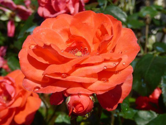 La jolie rose