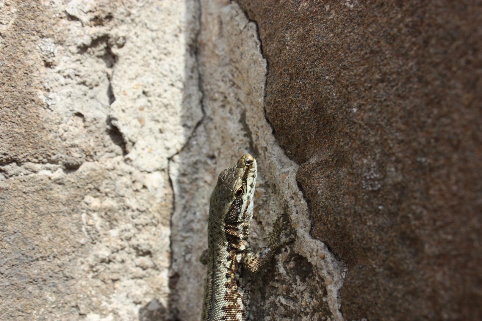 La lagartija comun