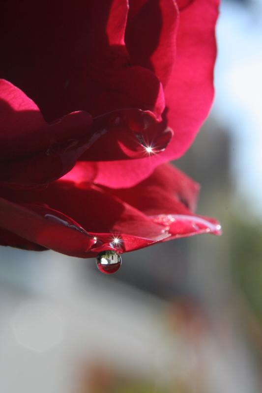 La larme d'une rose