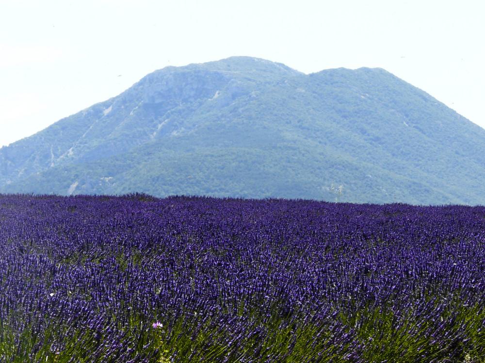 La Lavande en Provence