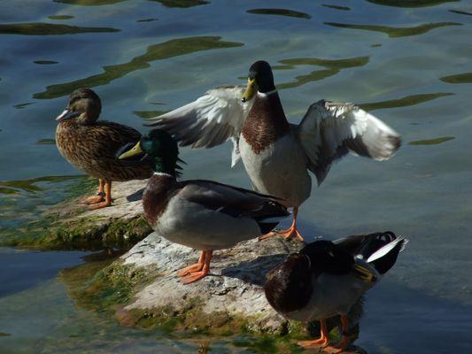 La légéreté d'un canard