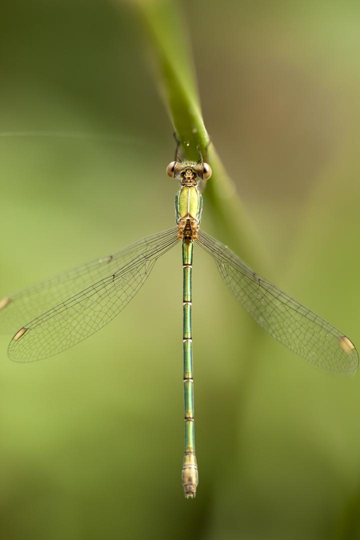la libellula appesa al filo d'erba