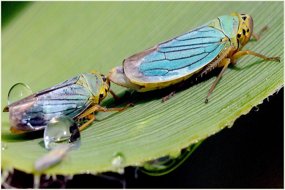 La libellula II
