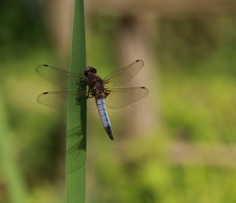la libellule du fond du jardin!