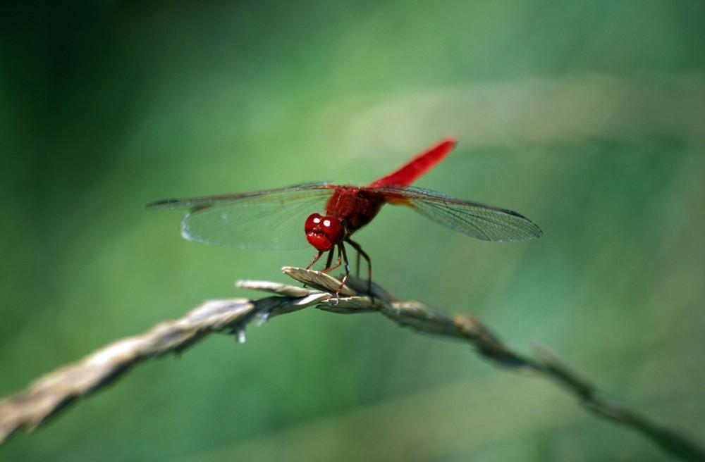 La libellule écarlate