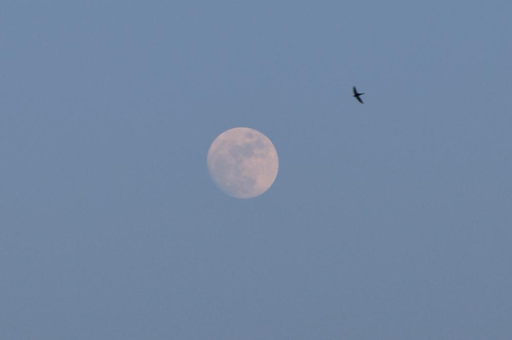 la luna e la rondine