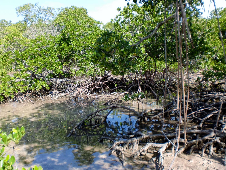 La mangrove à marée basse