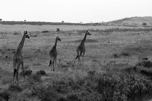 la marche des giraffes