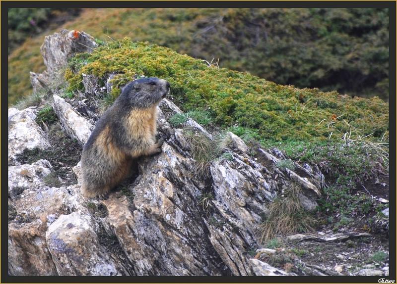 La marmotta del Moncenisio