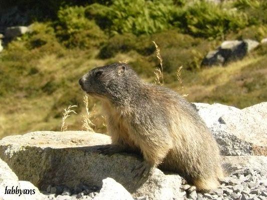 la marmotte d'Artouste
