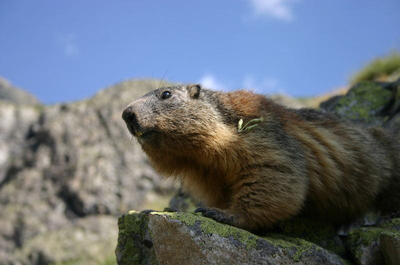 la marmotte des Alpes