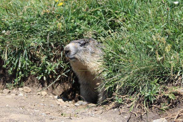 la marmotte du Mercantour