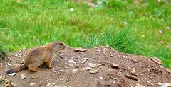 La marmottina curiosa
