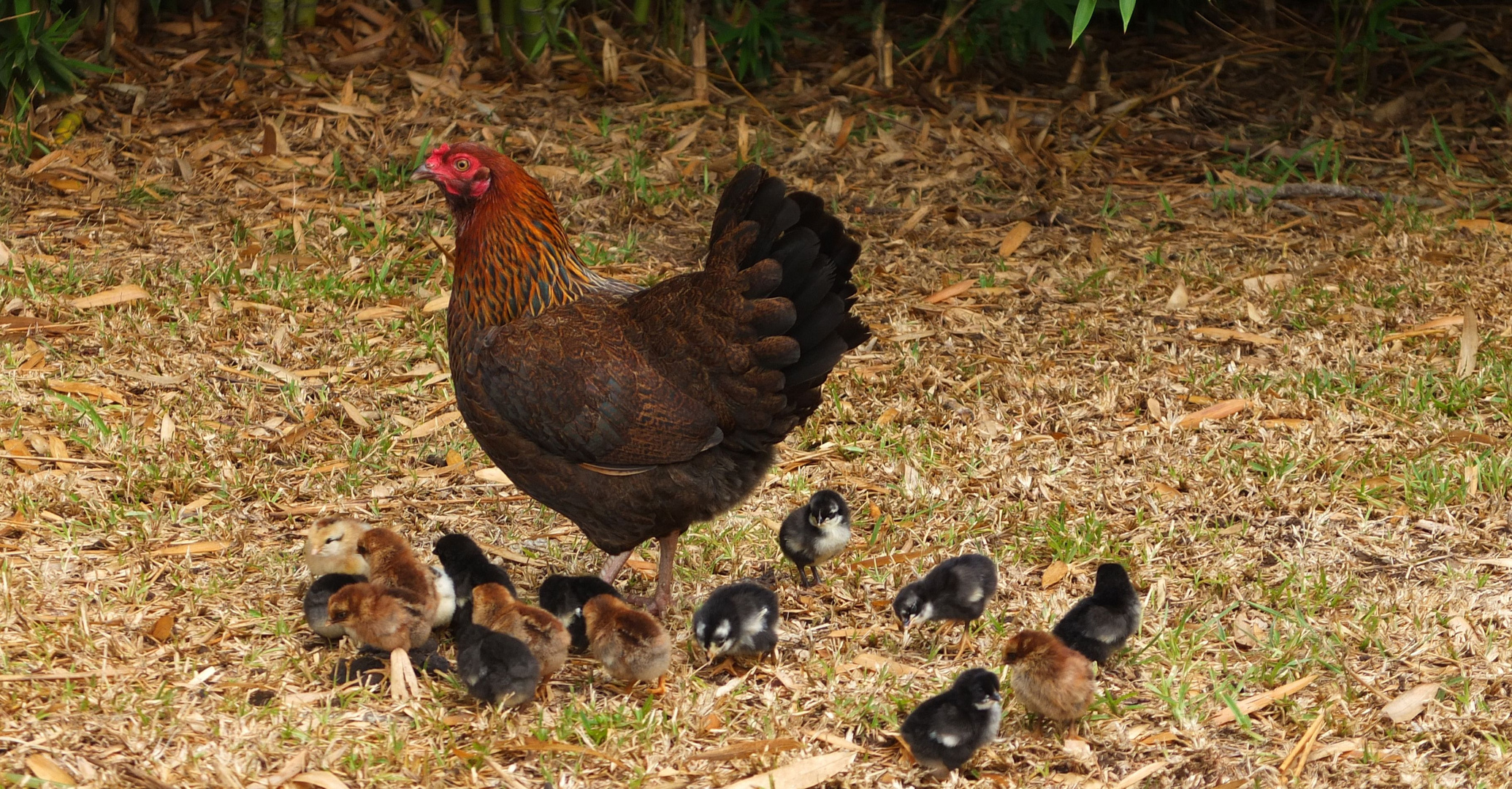 La m re poule et ses poussins photo et image animaux for Bien nourrir ses poules