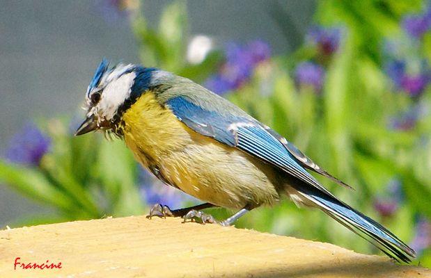 La mésange bleue ...