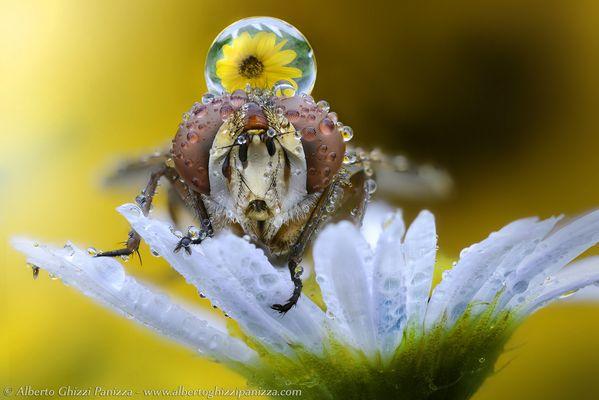 La mosca e la rugiada