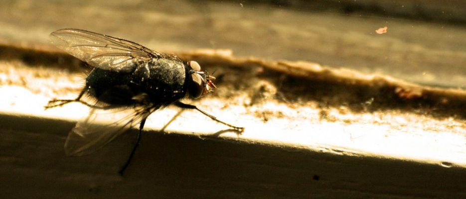 La mouche cherche la sortie