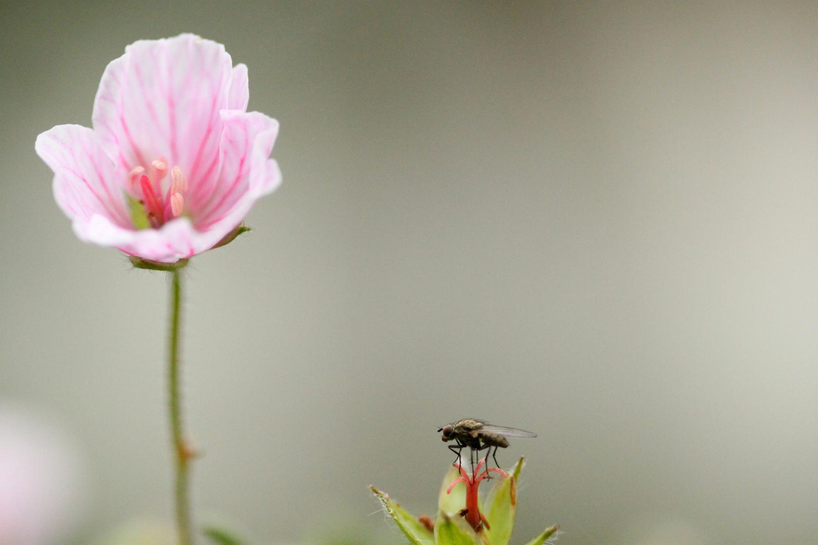 La Mouche et la Fleur...