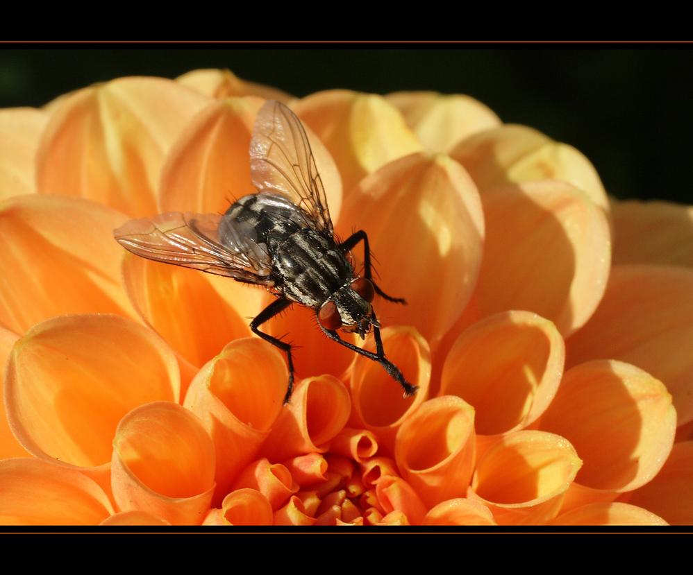 La mouche reste collée à la dahlia