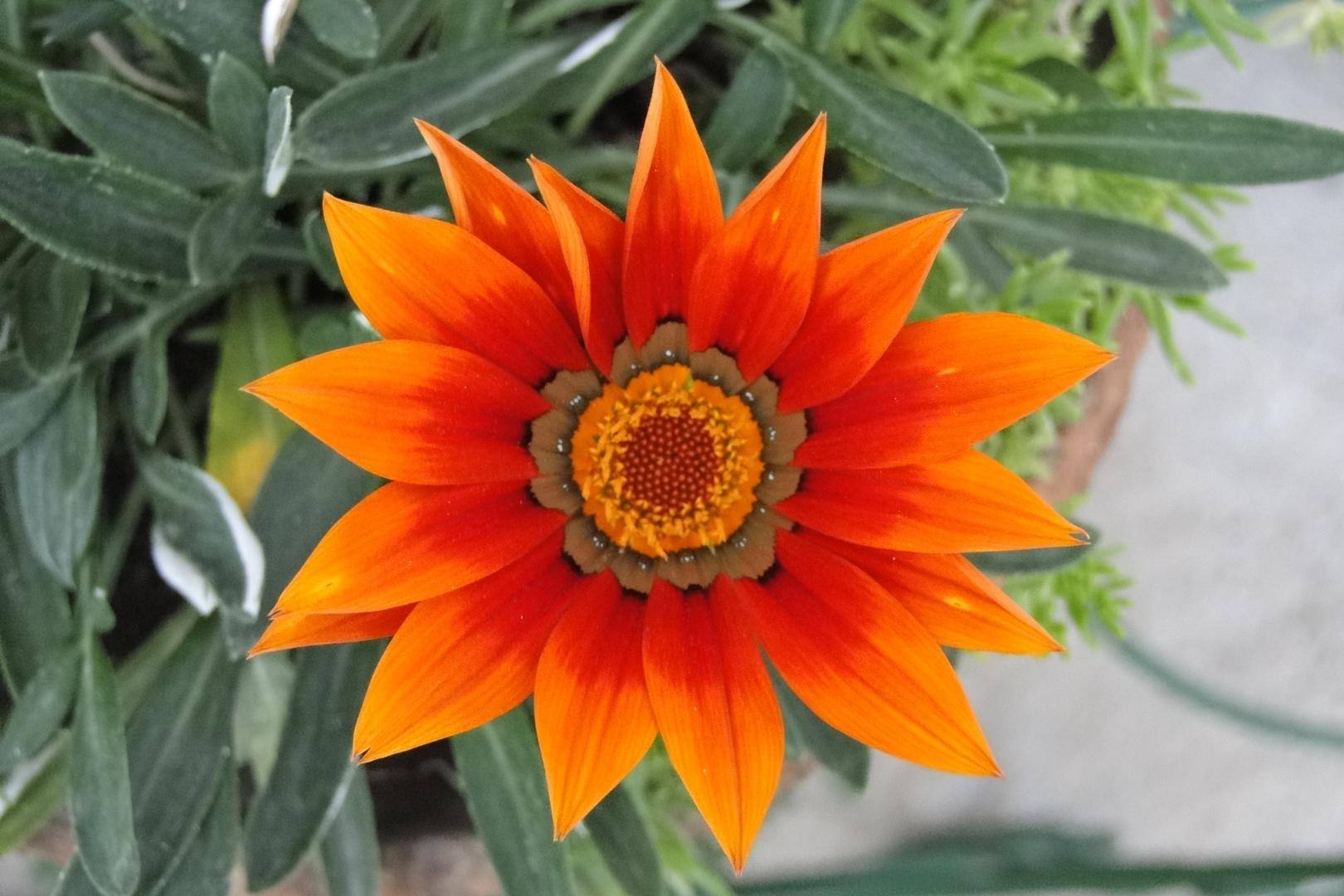 la naranjita