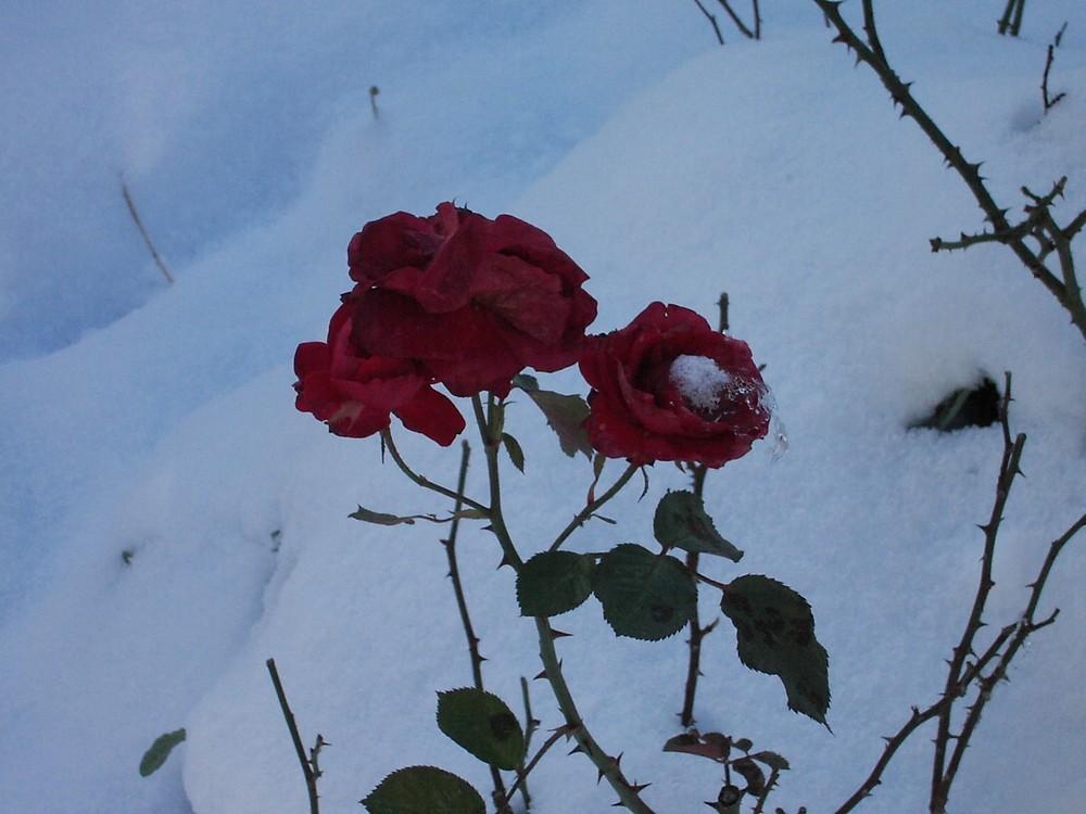 la neige et la rose
