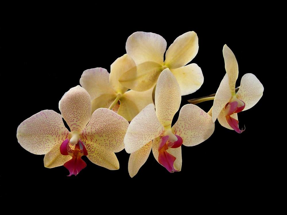 La notte delle orchidee