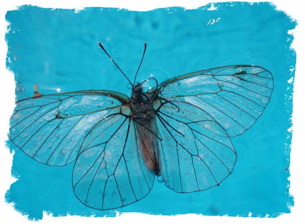 La noyade du papillon !