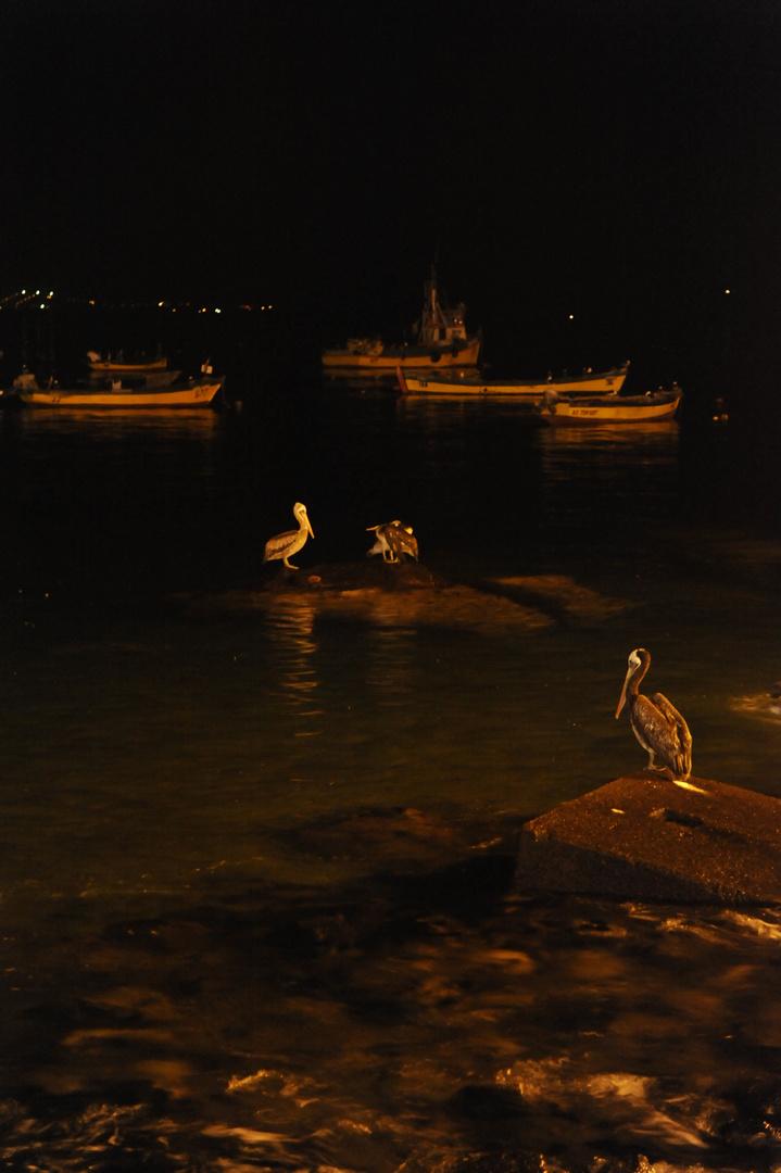 la nuit des pelicans au chili