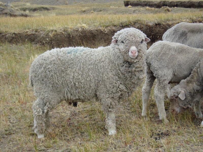 La oveja del fin del mundo-La Patagonia