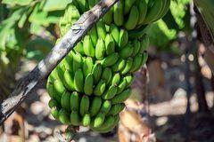 ::. La Palma - Bananen .::