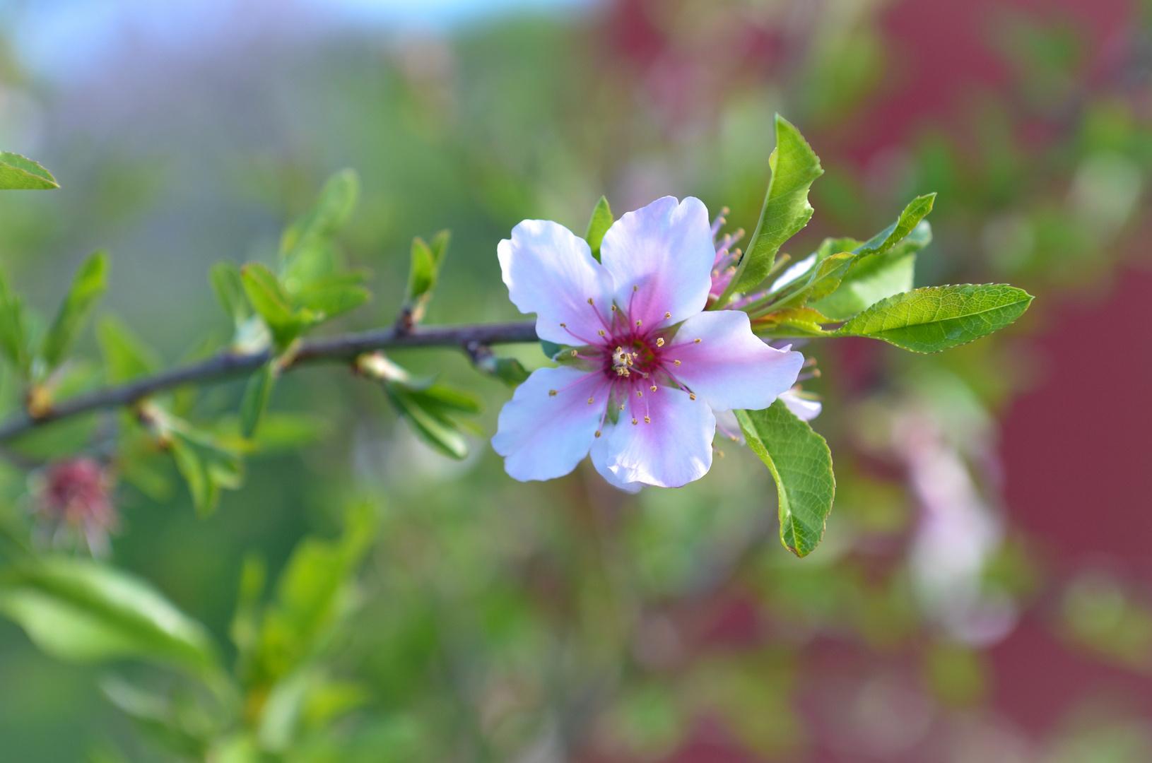 La Palma - Impressionen - Mandelblüte - Nr. 19