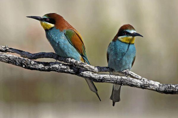 La pareja de abejarruco