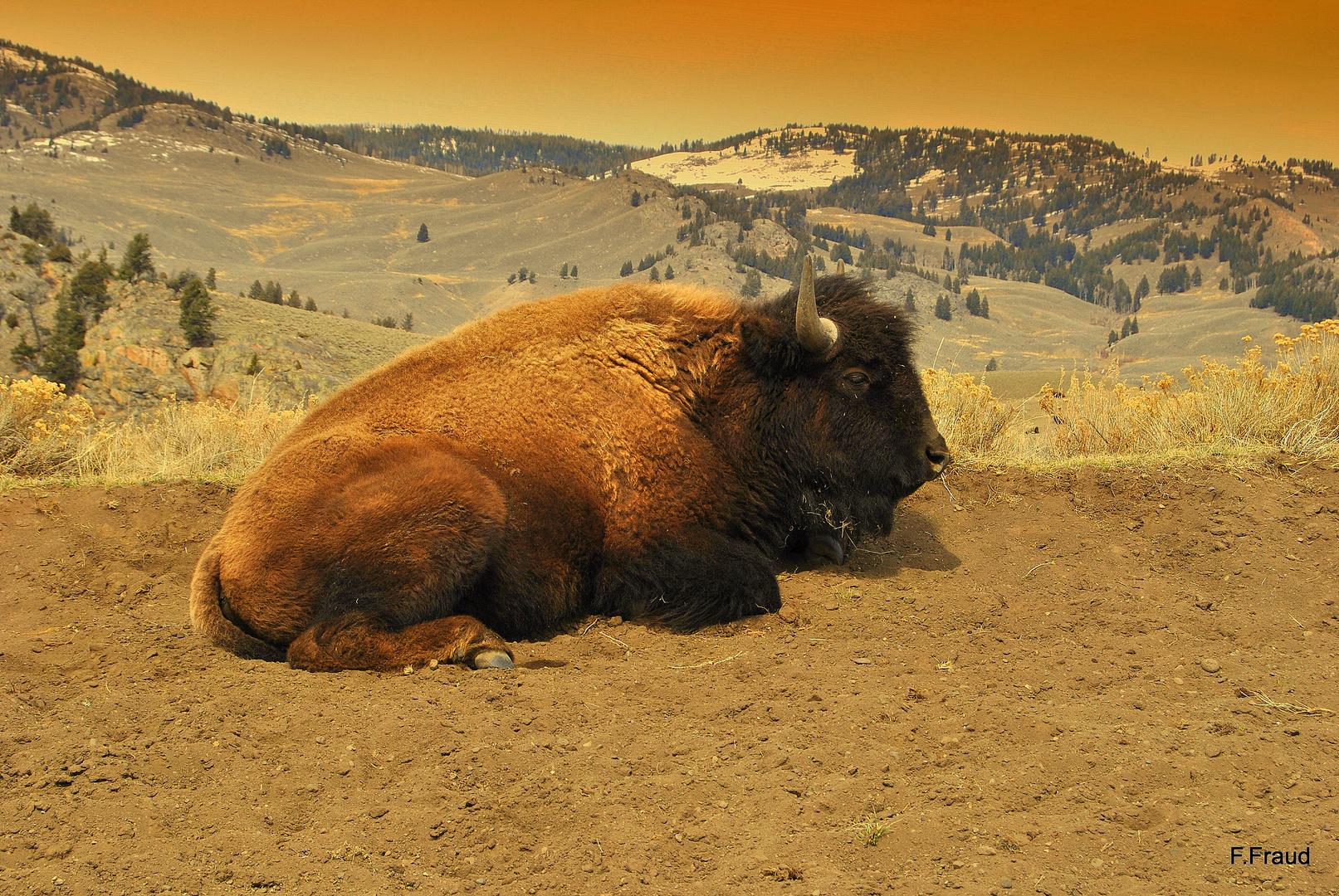 La pause du bison