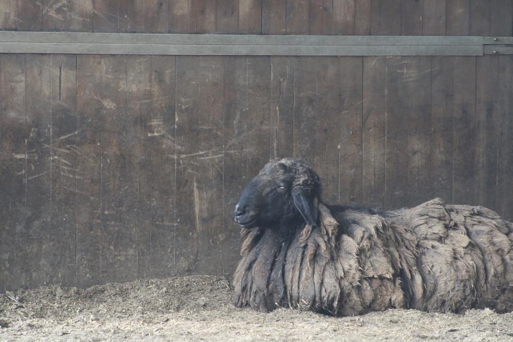 la pecora ... nera