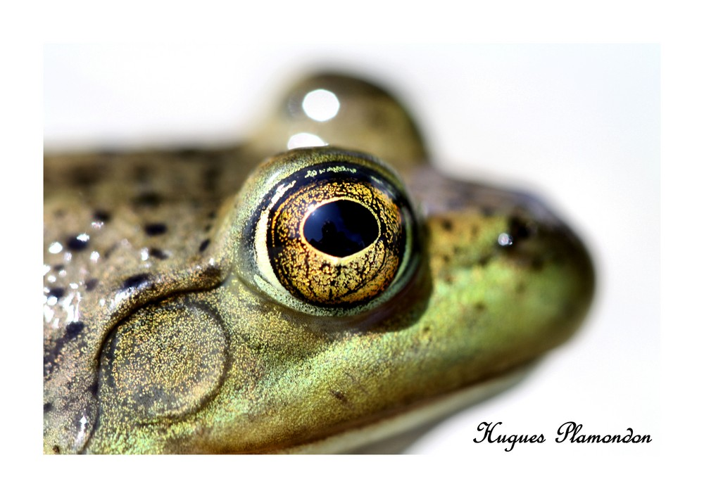 La petite grenouille