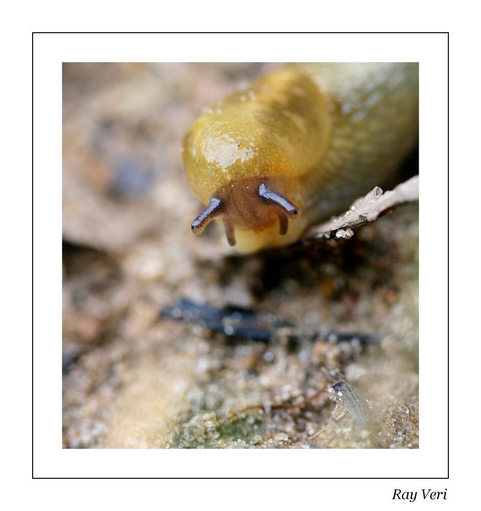 la petite limace
