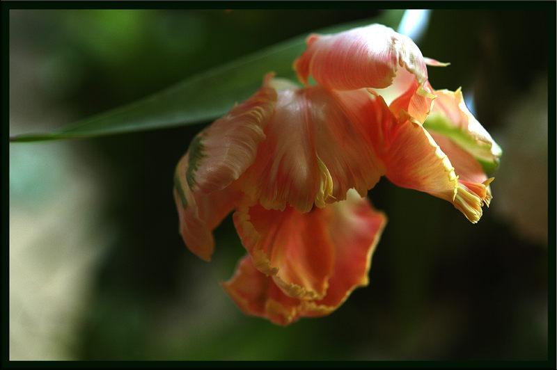 la plus belle des tulipes