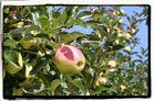 la pomme et son ombrelle