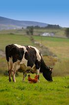La Poule et la Vache.